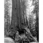 Giant Redwoods: Mariposa Grove is a Vacation Destination