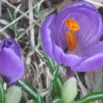 The Beautiful Crocus