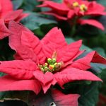 Poinsettias Create Christmas Miracles